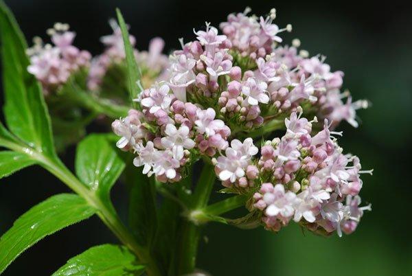 Valerian tea: A safe and effective herbal sleep aid